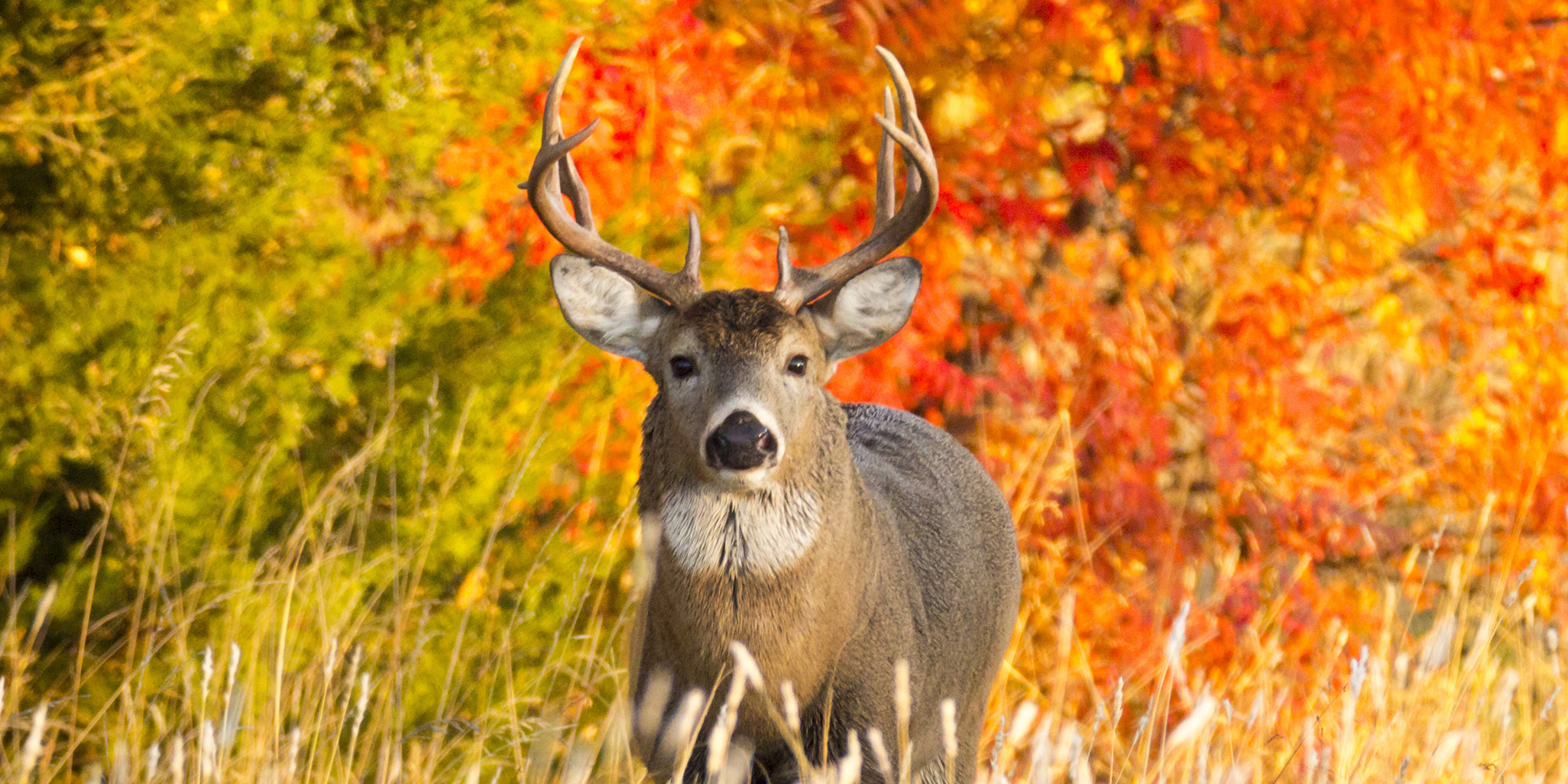 A whitetail buck along a very colorful tree line at sunrise on a late Autumn morning.