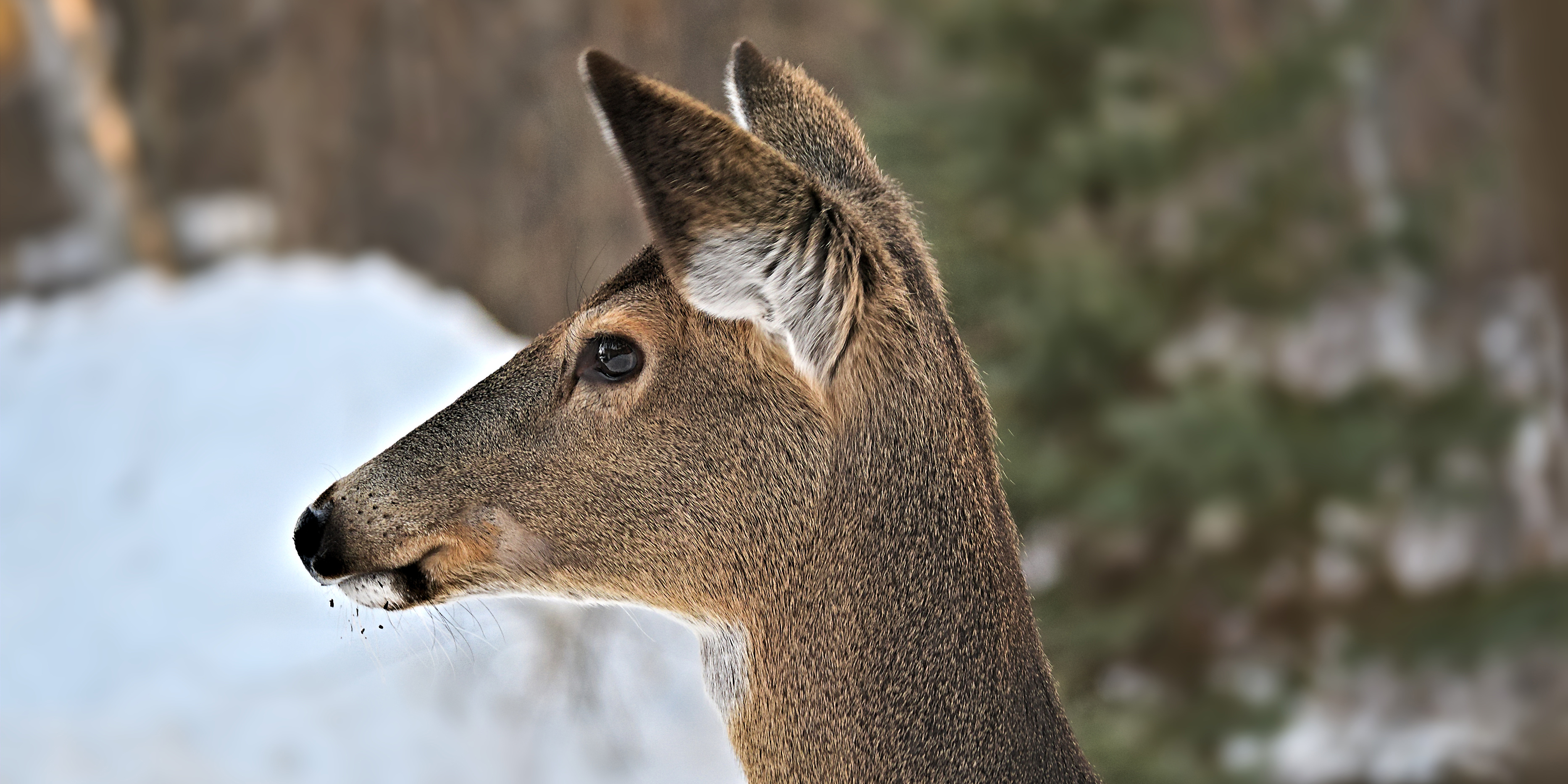 Close-up on white-tailed deer that looks out over snow.