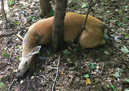 A deer that died from EHD