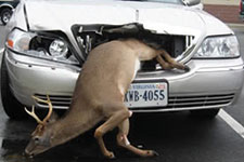 Buck stuck in grill of car after a deer-car collison