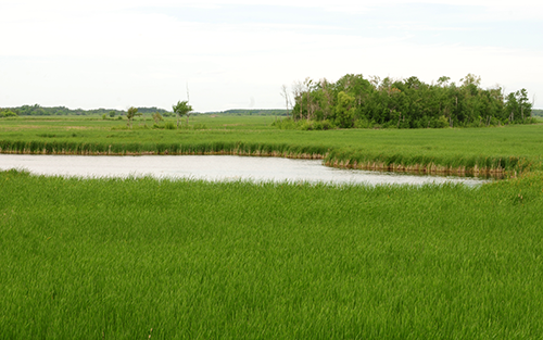 Wetland habitat in Minnesota.