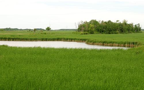 Wetland habitat in Minnesota.