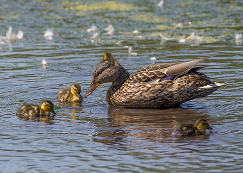 A mallard hen with her chicks swimming in spring