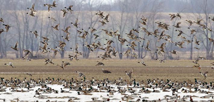 A mixed flock of ducks resting and flying over a wetland.